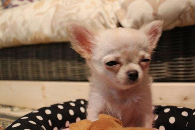まるで梅干しを食べたかのような子犬チワワ
