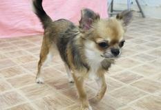 チワワ | 人も犬も大好きな明るい子です