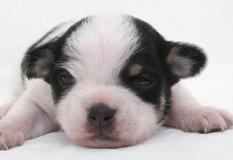チワワ | おだやかな表情をしたとっても可愛らしい子犬です。