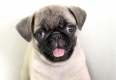 パグ | とっても可愛らしい子犬です。