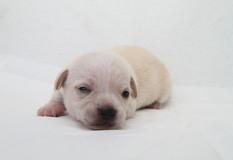 チワワ | 毛並のキレイな愛らしい子犬です。