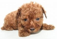 トイプードル | 可愛らしいレッドのトイプードルの子犬です。