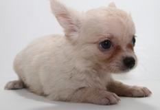 チワワ | 小粒で面倒見の良い母犬の元、愛情いっぱいに成長中です。