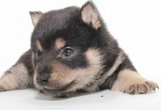 柴犬 | くりくりお目目の比較的小粒な柴犬の子犬です。