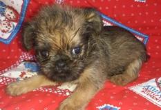 ブリュッセル・グリフォン | スターウォーズのチューバッカモデルになった犬種です。