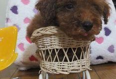 トイプードル | 成犬時の体重予想2kg前後(仮名:イエローくん)