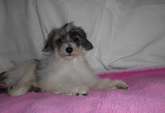 チャイニーズ・クレステッド・ドッグ | 小柄で綺麗な毛並みの パフタイプのお子です