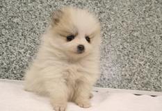 ポメラニアン | チワワ サイズの極小のワンちゃんです☆