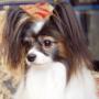 パピヨン | 小ぶりのかわいい女の子です。 | 140903-000001 3